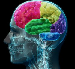 brain-coloed-sections-PWD3VK6-250x230
